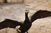 stock photo of spread wings  - The black great cormorant with spreading wings - JPG