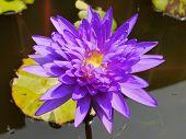 image of species  - The Blue lotus so beautiful species in Thailand - JPG