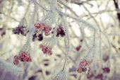 stock photo of rowan berry  - Red rowan berries with ice crystals winter morning hoarfrost vintage photo effect.