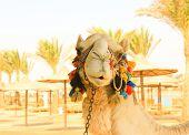 image of camel  - Camel - JPG