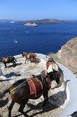 image of donkey  - Donkeys on the climb from the harbor in FiraSantorini Greece - JPG