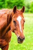 picture of feeding horse  - Powerful beautiful horse standing in the field and looking straight - JPG