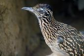 stock photo of southwest  - The roadrunner is a curious bird in the American southwest - JPG
