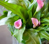 stock photo of calla  - pink calla lily  - JPG