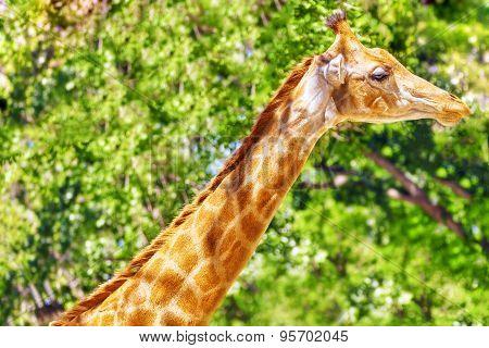 Giraffes Their Natural Habitat.