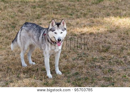 The Siberian Husky is walking in the park.