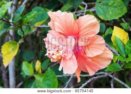 Single Hibiscus Flower