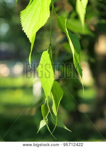 Green Birch Branch With Leaves Closeup
