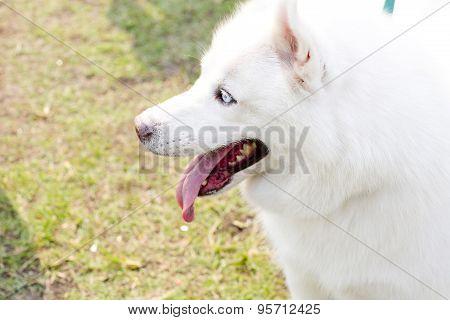 Cute Little Siberian Husky Puppy