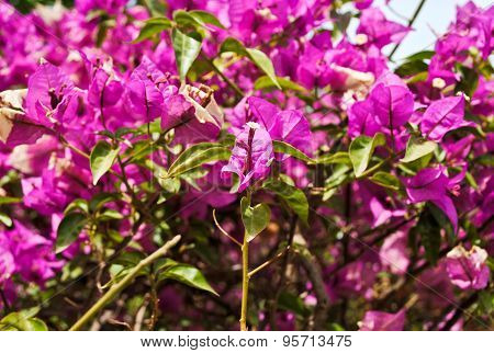 Shrub With Pink Flowers