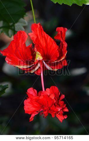 Variegated Tropical Hibiscus Latin name Hibiscus rosa-sinensis, El Capitolio