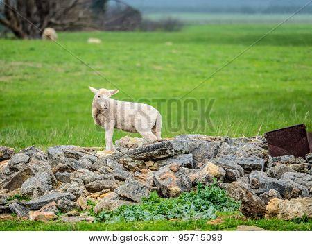 Sheep On An Australian Farm