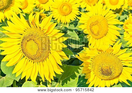 Flowers Of Sunflowers Close Up
