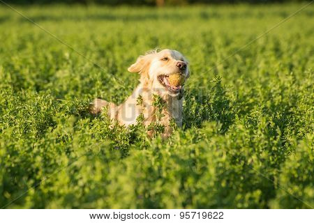 Golden Retriever In The Fields With Ball