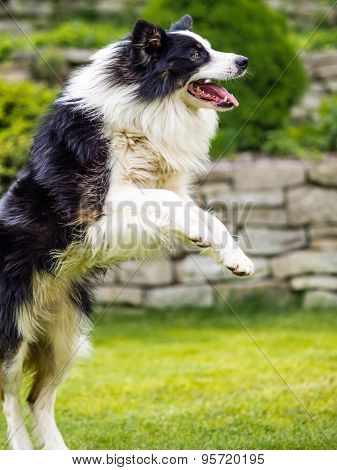 Dog, border collie, jumping in action