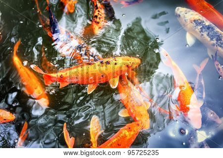 Pond With Swimming Koi Fishes