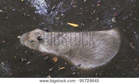 Capibara In Natural Environment