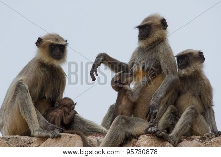 Long-tailed monkey family sitting on the wall of temple