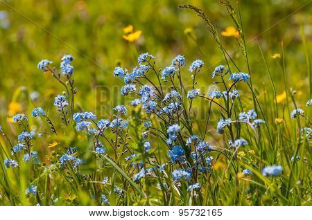 Forget-me-nots Flowers Meadow