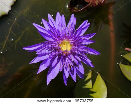 Blue lotus and yellow pollen so cute
