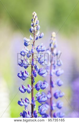 Wild Violet Flowers Of Lupine
