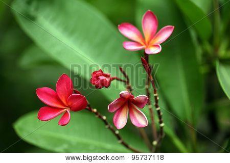 Beautiful Pink Plumeria Flowers