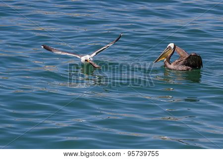 Pelican Vas Sea Gull