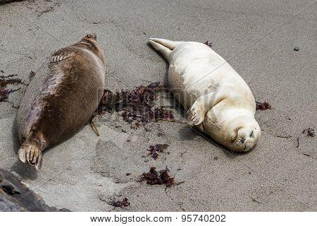 Earless Seal