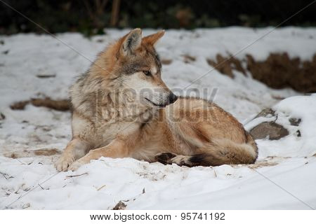 Mexican Wolf relaxing in snow