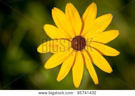 Coneflower (black Eye Susan, Genus Rudbeckia, Ratibida, Echinacea) In Natural Background