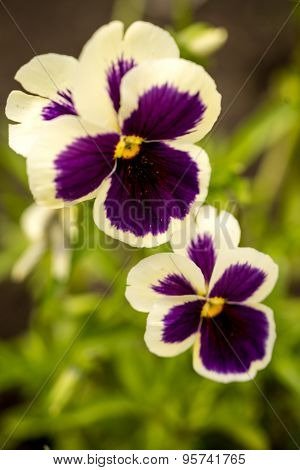 Botanic Gardening Plant Nature Image: Pansy (viola Tricolor, Viola Cornuta) Closeup Among Green Plan
