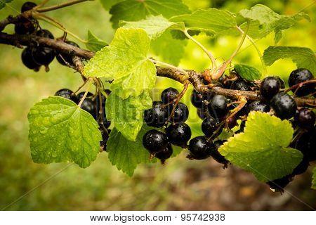 Blackcurrant branch - Ribes nigrum