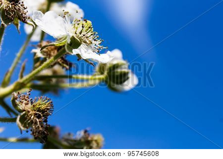 a few white flowers on the branches of a raspberry bush with green leaves