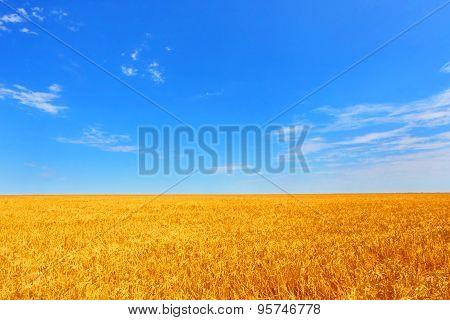 Farmer field of wheat against the blue sky.