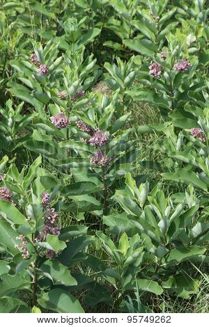 Milkweed Plant, Flowering