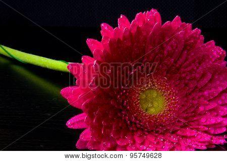 Pink Gerbera On Black Background
