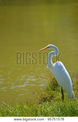 Great Egret Latin name Ardea alba