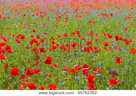Poppy and cornflower field