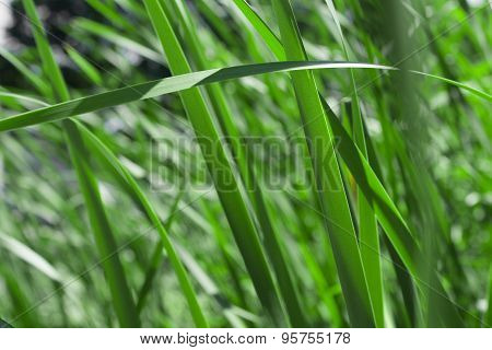 green reed field, close up