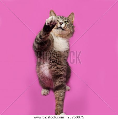 Gray And White Tabby Cat Playing On Pink