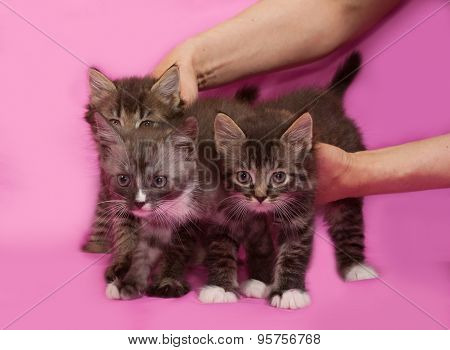 Three Fluffy Tabby And White Siberian Kitten Standing On Pink