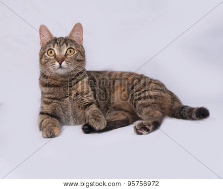 Tricolor Striped Cat Lies On Gray
