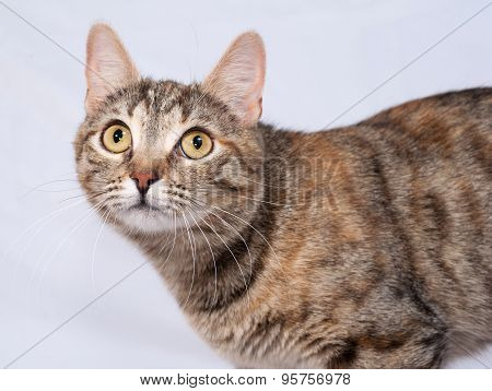 Tricolor Striped Cat Sitting On Gray
