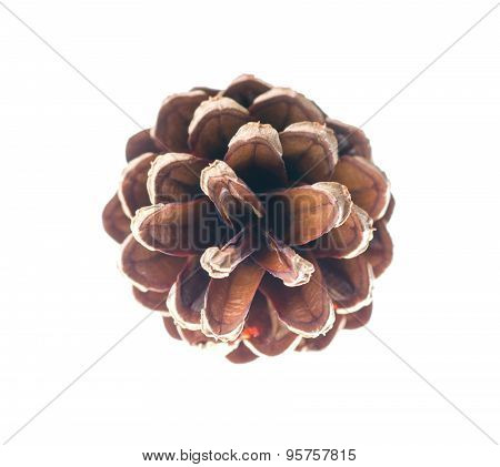 cedar pine cone isolated on white background
