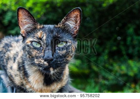 Brown patched cat with green eyes