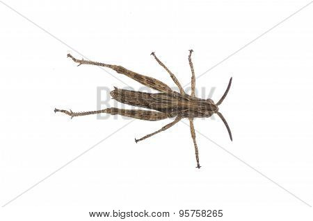 Brown Grasshopper On A White Background