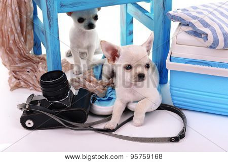 Adorable chihuahua dogs and heap of different things close up