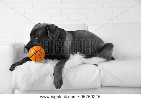Cane corso italiano dog lying on sofa with ball at home