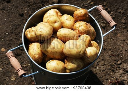 New potatoes in metal bucket in garden