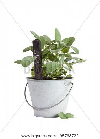 Sage plant with flower tag in tin bucket isolated on white background